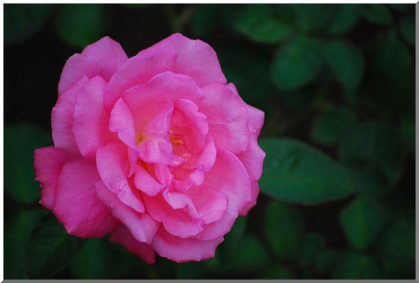 港の見える丘公園の薔薇 (Ⅱ)_d0123528_12391229.jpg