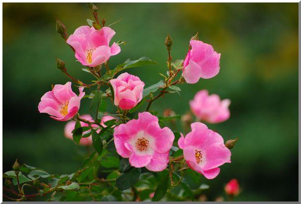 港の見える丘公園の薔薇 (Ⅱ)_d0123528_12584715.jpg
