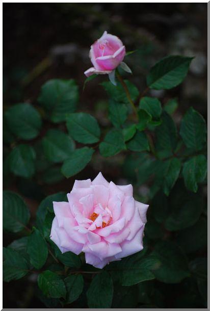 港の見える丘公園の薔薇 (Ⅱ)_d0123528_13163939.jpg
