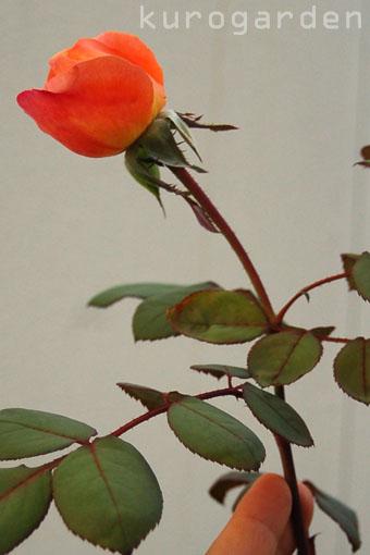 秋バラ咲いてきました(2)_e0119151_227050.jpg