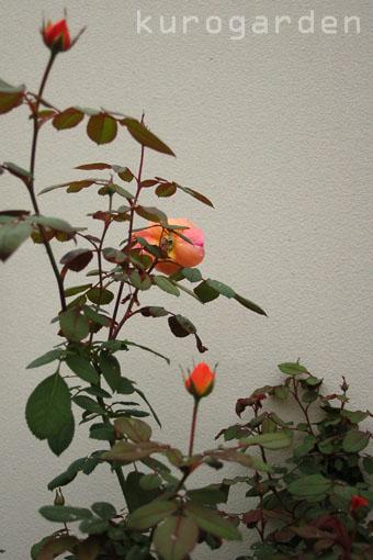 秋バラ咲いてきました(2)_e0119151_2271843.jpg