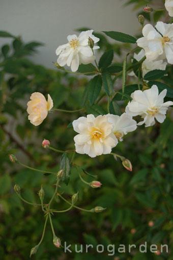秋バラ咲いてきました(2)_e0119151_2275692.jpg