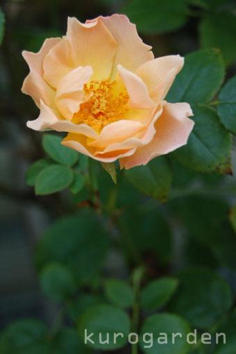 秋バラ咲いてきました(2)_e0119151_2284635.jpg