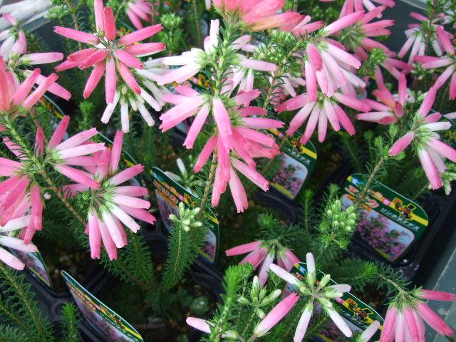 オークリーフ(透明感のある花たち)_f0049672_1227780.jpg