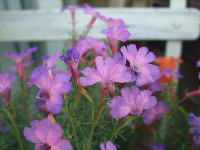 オークリーフ(透明感のある花たち)_f0049672_12445324.jpg
