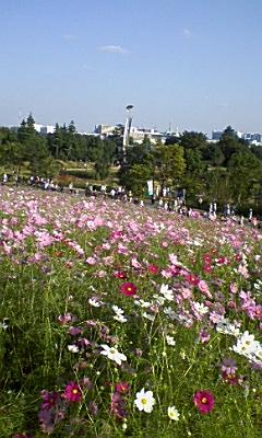 昭和記念公園のコスモス_e0013178_13525639.jpg