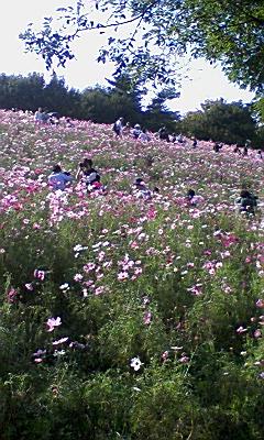 昭和記念公園のコスモス_e0013178_13525673.jpg
