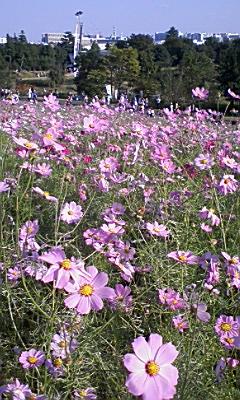 昭和記念公園のコスモス_e0013178_13525689.jpg