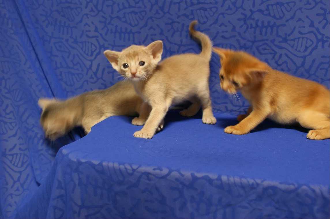 ブルー・フォーン・レッド アビシニアン子猫ちゃん4weeks_e0033609_18165643.jpg