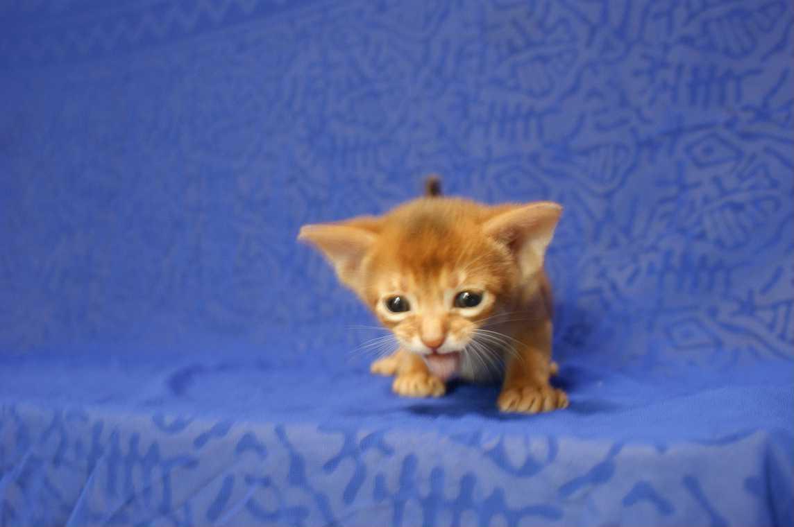 ブルー・フォーン・レッド アビシニアン子猫ちゃん4weeks_e0033609_18175518.jpg
