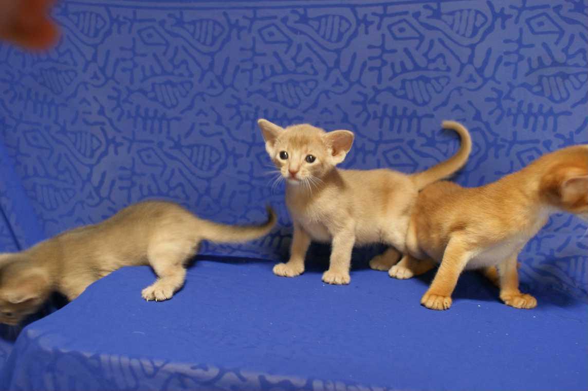 ブルー・フォーン・レッド アビシニアン子猫ちゃん4weeks_e0033609_1817589.jpg
