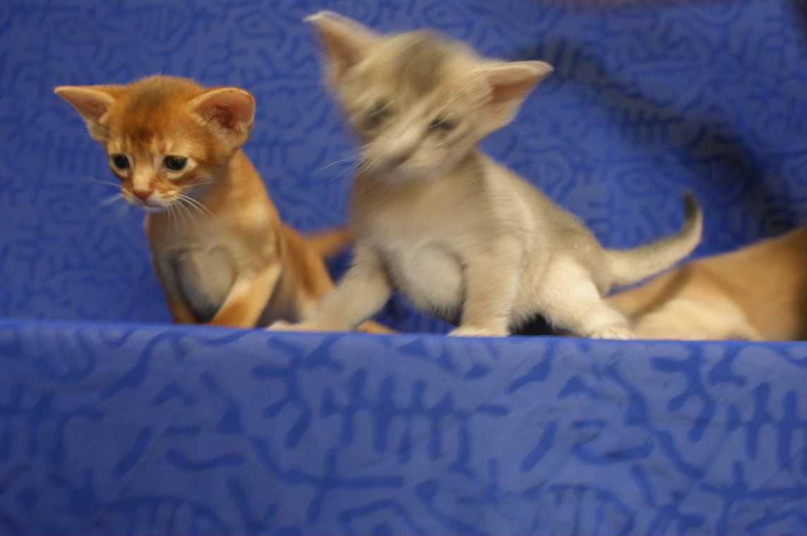 ブルー・フォーン・レッド アビシニアン子猫ちゃん4weeks_e0033609_18181715.jpg
