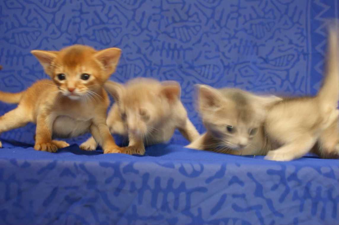 ブルー・フォーン・レッド アビシニアン子猫ちゃん4weeks_e0033609_1818973.jpg