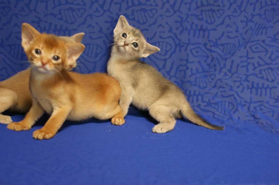 ブルー・フォーン・レッド アビシニアン子猫ちゃん4weeks_e0033609_18191879.jpg