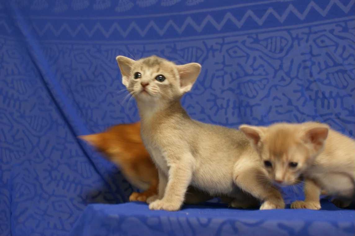 ブルー・フォーン・レッド アビシニアン子猫ちゃん4weeks_e0033609_1819566.jpg