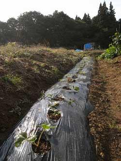 植え付けと収穫_c0063348_823168.jpg