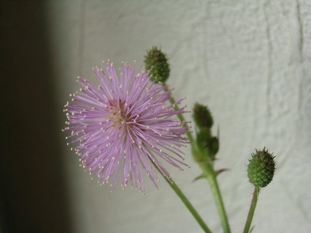 オジギソウの開花とイチョウ並木の様子_c0025115_14191365.jpg
