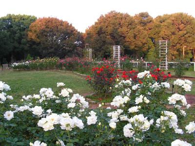 秋のおすすめ薔薇園_a0094959_954330.jpg