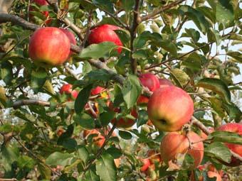 佐々木さんのリンゴ畑_c0125114_082942.jpg