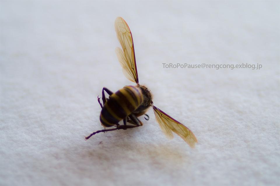 ハチ太の翅_e0132518_22164599.jpg