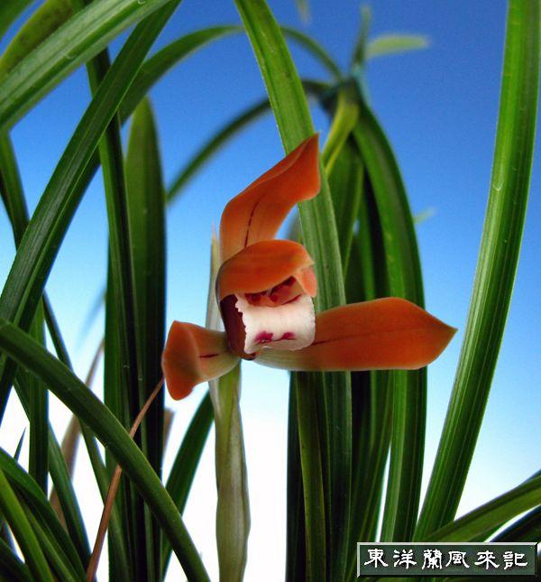 日本春蘭紅花「神楽姫、」               No.219_b0034163_2172494.jpg