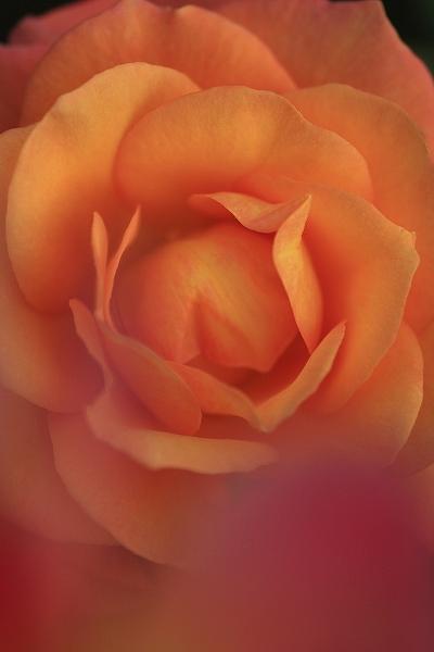 バラの香り 12_c0155950_2010450.jpg