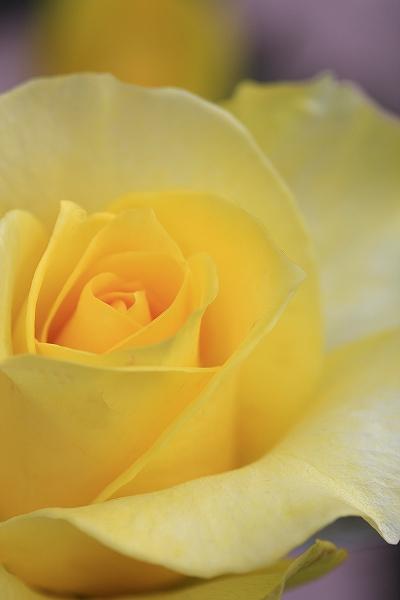 バラの香り 13_c0155950_1838251.jpg