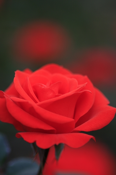 バラの香り 14_c0155950_1844048.jpg