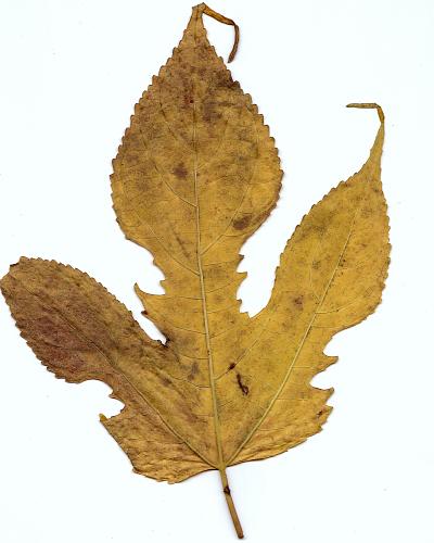 秋の落葉(楮)_f0157387_1083921.jpg