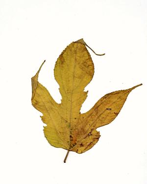 秋の落葉(楮)_f0157387_1084989.jpg