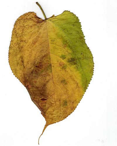 秋の落葉(楮)_f0157387_1091647.jpg