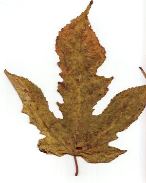 秋の落葉(楮)_f0157387_109286.jpg
