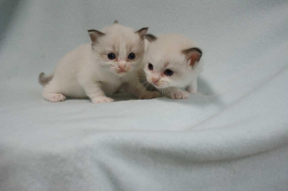 子猫 ラグドール シールポイントバイカラー女の子ちゃん_e0033609_16352680.jpg
