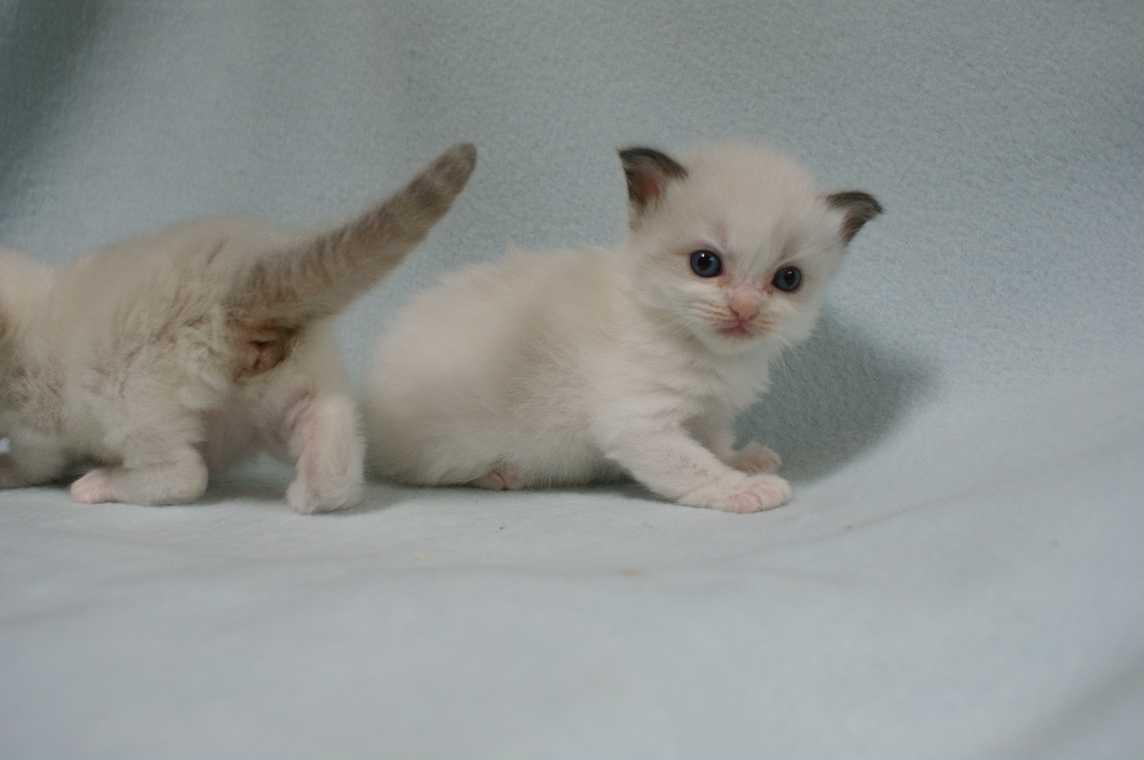 子猫 ラグドール シールポイントバイカラー女の子ちゃん_e0033609_16353826.jpg