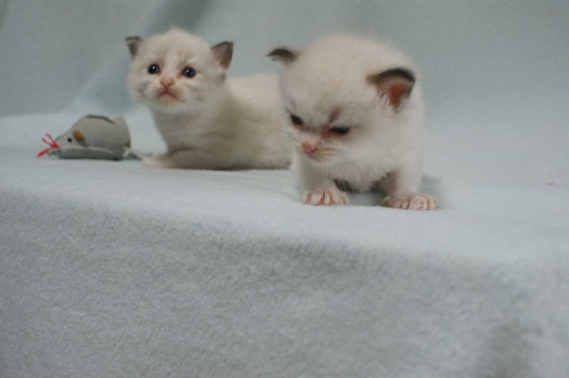 子猫 ラグドール シールポイントバイカラー女の子ちゃん_e0033609_16354476.jpg