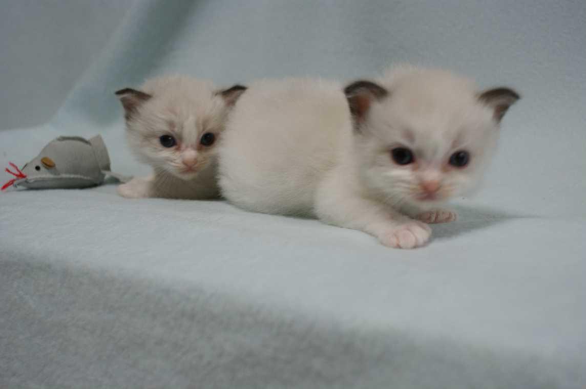 子猫 ラグドール シールポイントバイカラー女の子ちゃん_e0033609_16355016.jpg