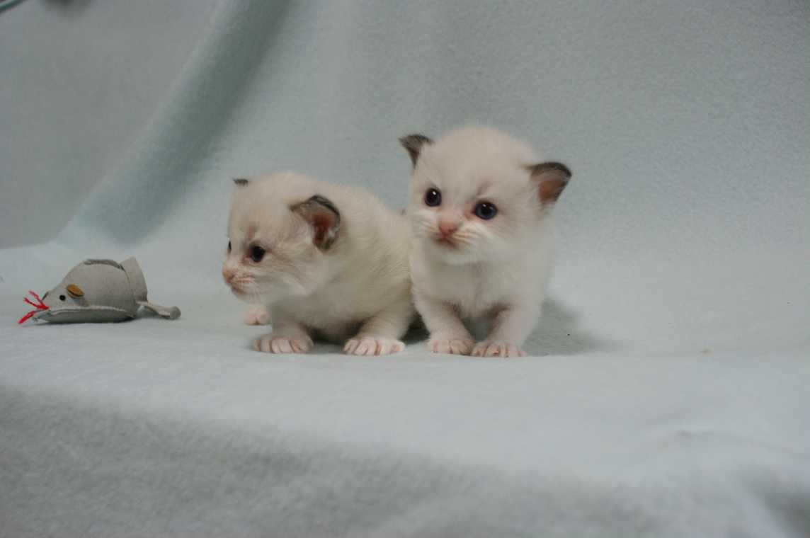 子猫 ラグドール シールポイントバイカラー女の子ちゃん_e0033609_16355756.jpg