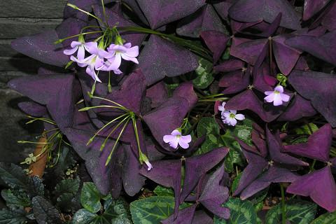 サボテン・紫御殿(ムラサキゴテン)_c0121993_14562488.jpg