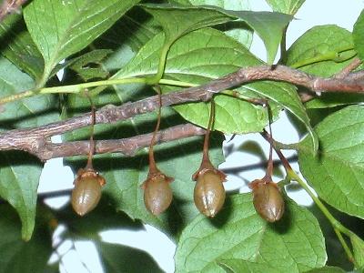 実りの秋!エゴの実の収穫。_e0010418_16202113.jpg