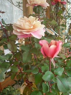 薔薇の鉢植え_e0130779_1410362.jpg