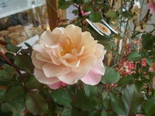 薔薇の鉢植え_e0130779_1492365.jpg