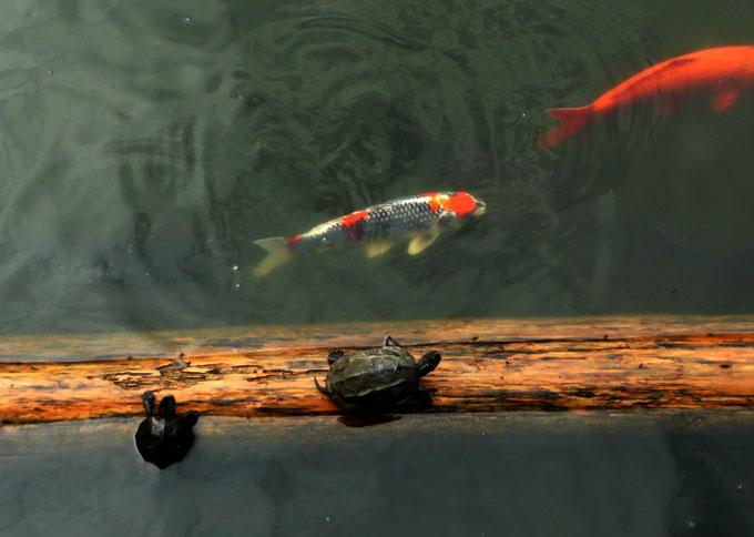 鯉さんと亀さん!_f0150893_1810926.jpg
