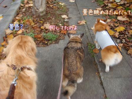 いつもの散歩道が大分紅葉してきました。_f0064906_17353425.jpg