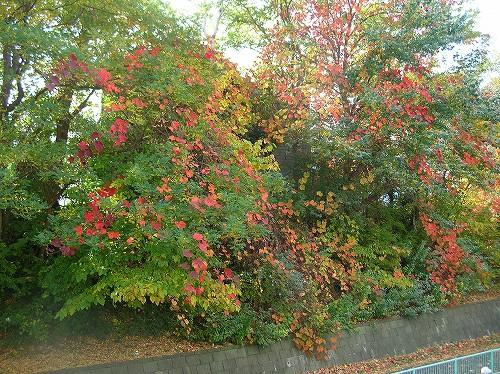 ヤマブドウの紅葉_c0048117_108999.jpg