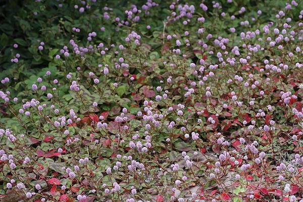 花園 1・・・・アガスターチ・ゴールデンジュビリー_c0155950_2351318.jpg