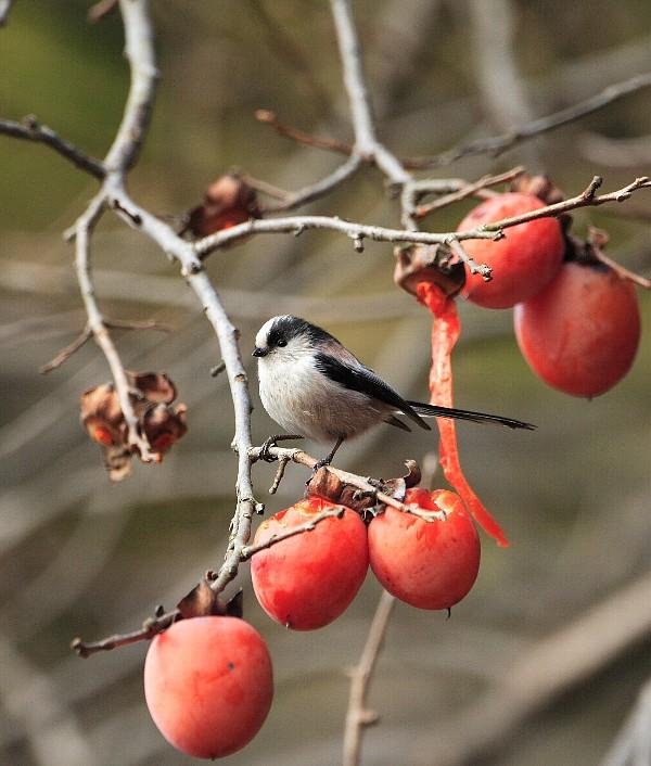 僕のものだぞ!柿の実の上で踏ん張る可愛いエナガ_f0105570_2214275.jpg