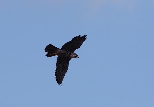 canon EOS-1D Mark3 鳥撮り_d0074828_23484117.jpg