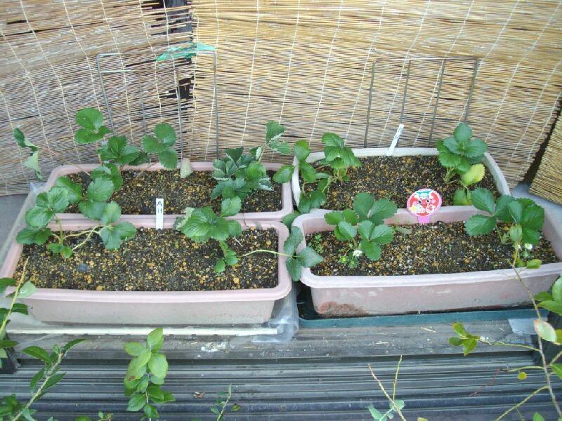 イチゴ屋内栽培の始まり _f0018078_20165154.jpg