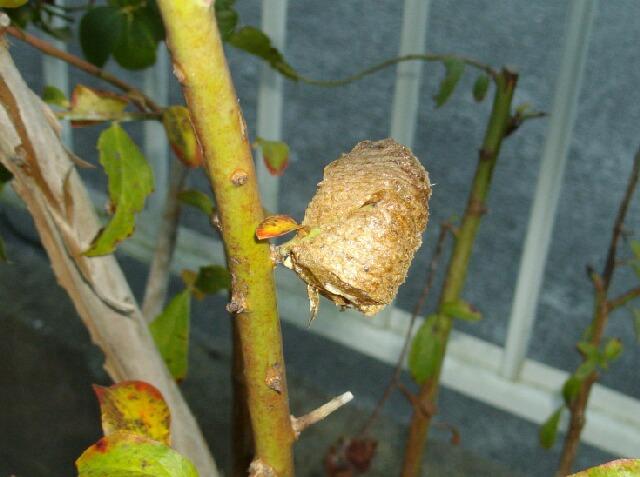 カマキリの卵で冬の天気の長期予報_f0018078_15443525.jpg