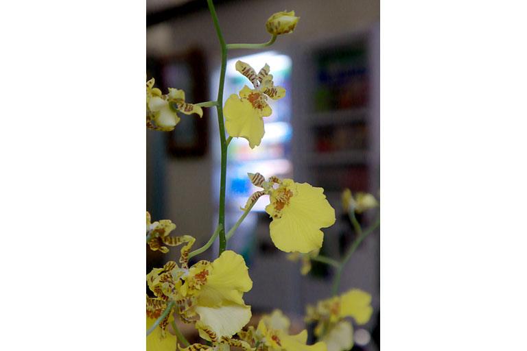 蝶(の様な)蘭 (2)_c0081286_7323774.jpg